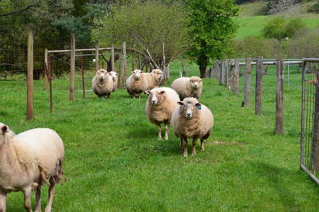 sheep-391482_640